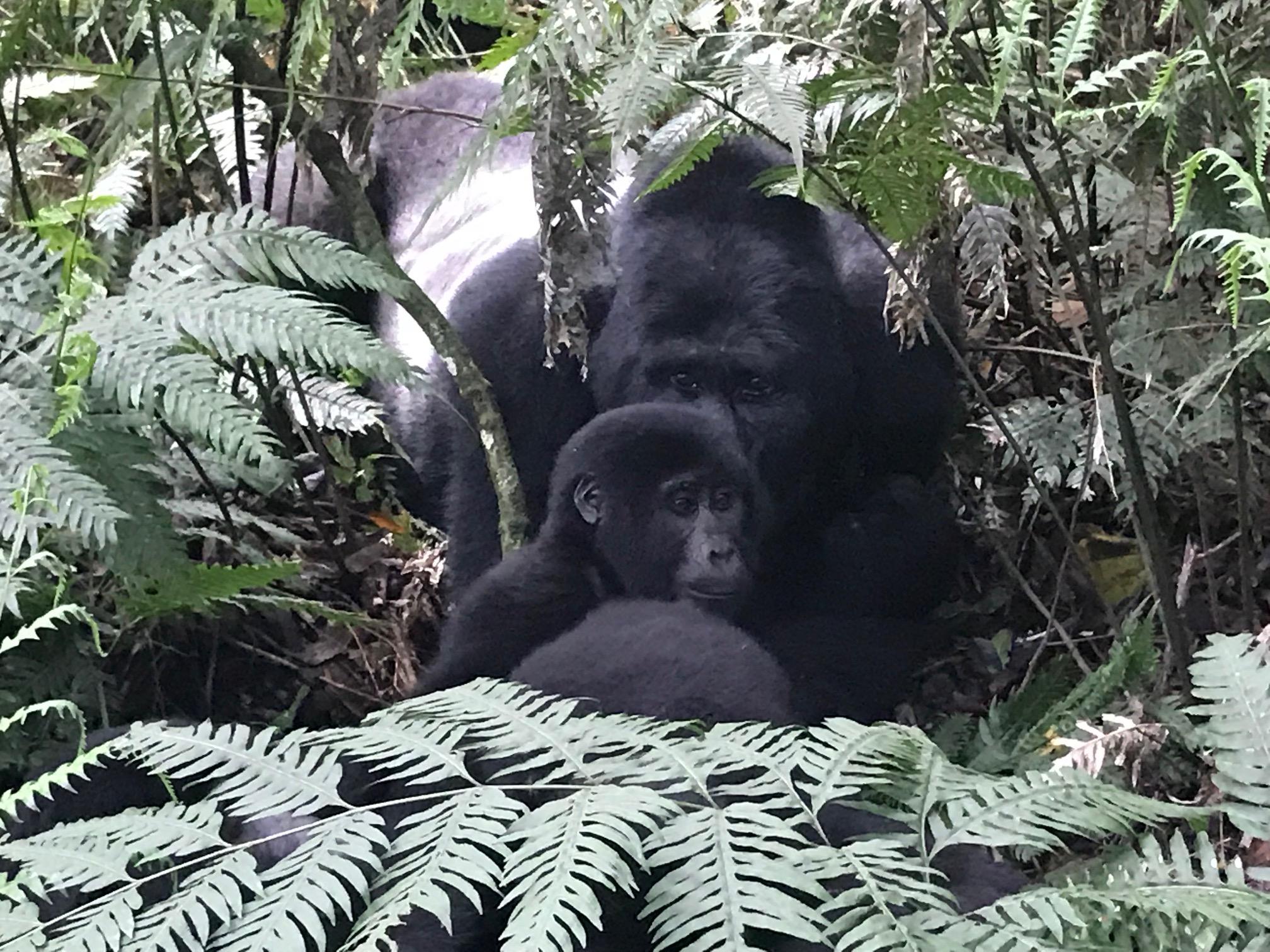 Gorilla Trek Uganda Silverback Gorilla