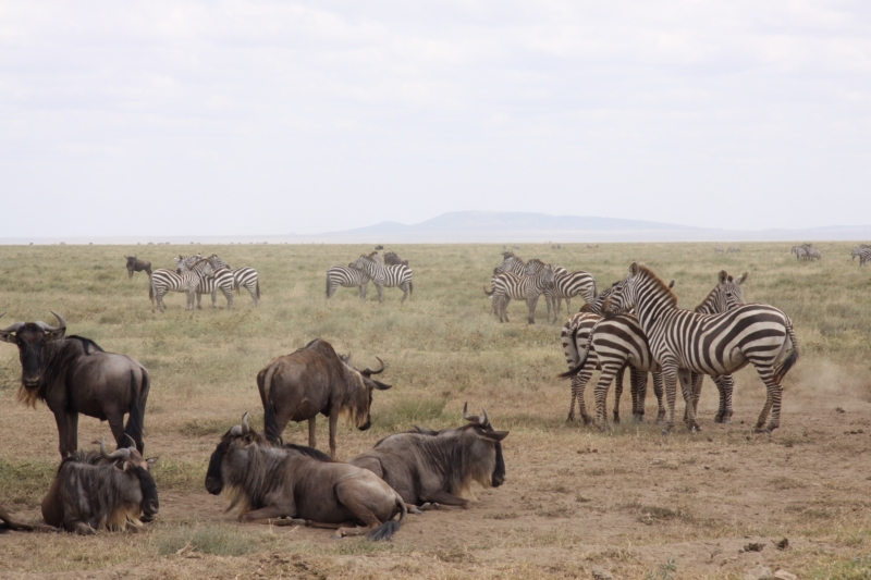 Safari Migration in Serengeti